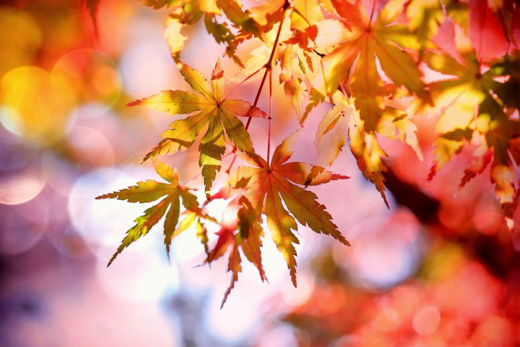 Maple tree leaves