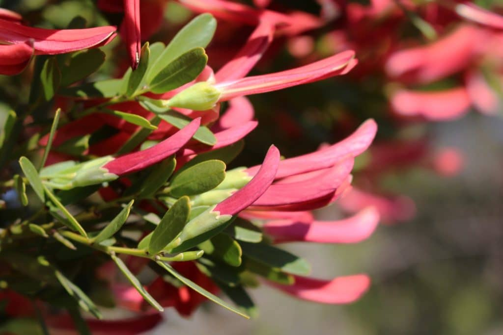Pink flowering landscape shrub